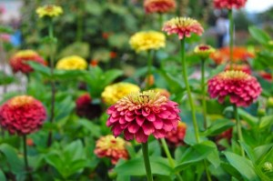 Zinnia 'Queen Red Lime' is one of the growing array of choices for lovers of annuals.