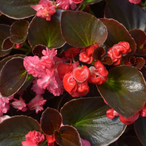 Growing Begonias Indoors A Toronto Master Gardeners Guide